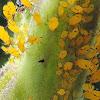 Milkweed or Oleander Aphid