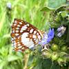 Mariposa Glaphyra Metalmark Butterfly