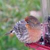 House Finch (orange variation)