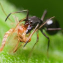 Black Ant-Mimicking Jumping Spider