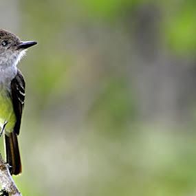 Maria Cavaleira de Rabo Enferrujado by Thiago Silva - Animals Birds (  )