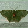 Hemithea Emerald Moth