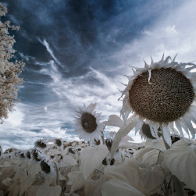 follows the sun by Lara Zanarini - Flowers Flowers in the Wild ( sky, black and white, blue, infrared, lara, sunflower, zanarini, Hope )