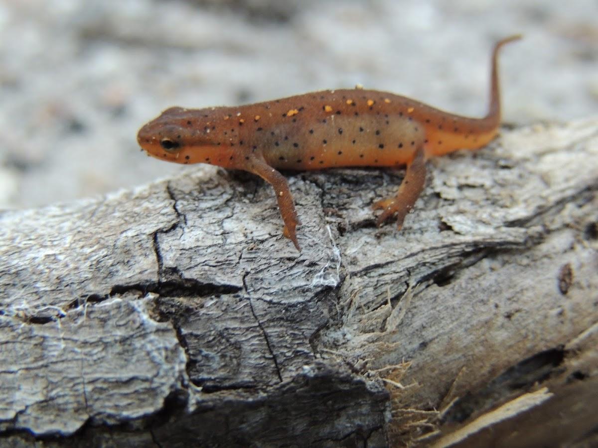 Eastern newt