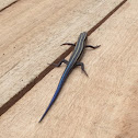 American five-lined skink