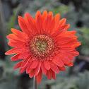 ดอกเยอบีร่า (Gerbera Daisy)