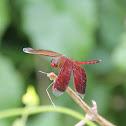 Russet Percher Dragonfly (?)