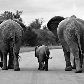 Elephant family B+W by Mauritz Janeke - Animals Other Mammals ( mammals, animals, black and white, elephant, mauritz, wildlife, three elephants,  )
