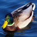 Mallard duck male