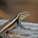 Rose-bellied Spiny Lizard