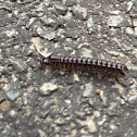 Greenhouse millipede