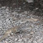 Checkered Whiptail