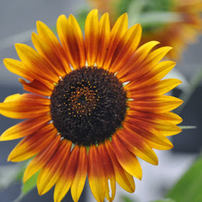 Sunflower by Donna Pavlik - Flowers Single Flower