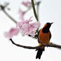 Yellow backed Oriole