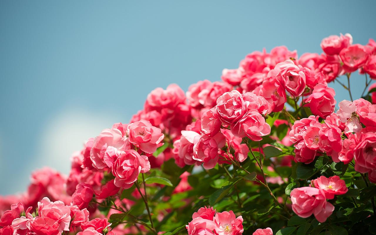 Pink Rose Garden Wallpaper pink rose live wallpaper - android apps on google play