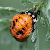 lady bug pupa