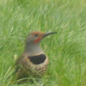 Northen Flicker