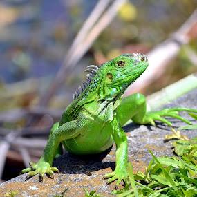 Green Iguana by Milton Moreno - Animals Reptiles ( reptiles, animals, lizard, outdoors, iguana, reptile, springtime, spring, green iguana,  )