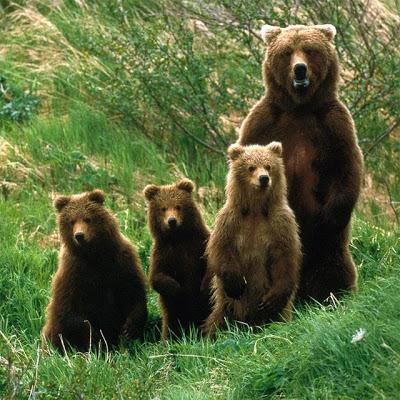 Bears Jigsaw Puzzles - screenshot