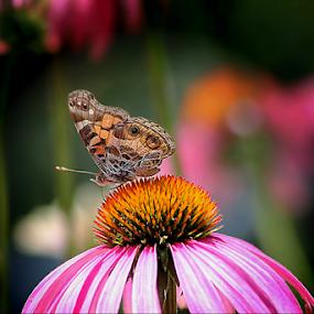 Butterfly Heaven by Darlene Lankford Honeycutt - Flowers Flowers in the Wild ( butterfly, cone flowers, dl honeycutt, pink, flowers )