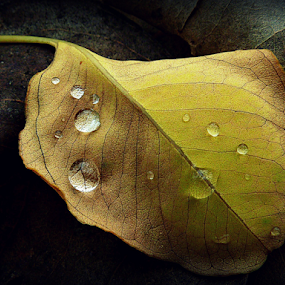 The fallen by Diane Hallam - Nature Up Close Leaves & Grasses ( water, autumn, leaf, rain, droplets,  )