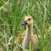 Canadian Goose Gosling
