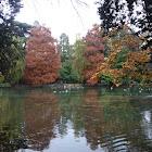 Paisaje otoñal. Quercus coccinea. Roble escarlata