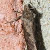 Tubeworm moth