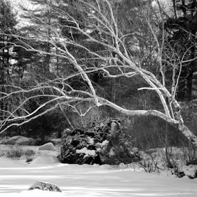 Birch tree in the winter  by Jessie Dautrich - Black & White Landscapes ( , black and white, b&w, landscape )