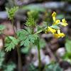 Yellow Fumewort or Yellow Harlequin