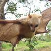 Little Golden-mantled Flying-fox