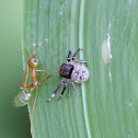 Black Crab Spider & Green Tree Ant