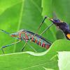 Percevejo-do-maracujá (Passion fruit bug)