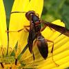 Polistres paper wasp