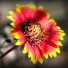 Firewheel, Indian blanket, Indian blanketflower, or sundance