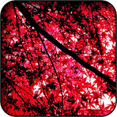 Japanese Maple Wallpapers