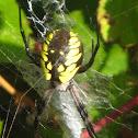 Writing Spider (Corn Spider)