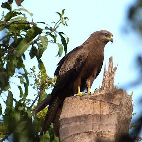 Kite by Vaibhav Shende - Animals Birds ( kite,  )