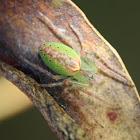 Slender Green Orb Weaver