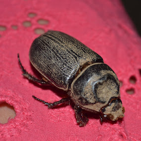 The Beetle by Anjsh Lacanlale - Animals Insects & Spiders