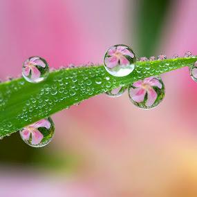 Lovely pink by Citra Hernadi - Nature Up Close Natural Waterdrops