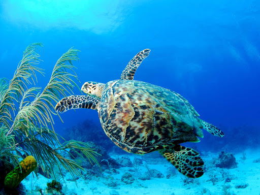Cayman-Islands-sea-turtle - A sea turtle in the Cayman Islands.