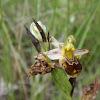 Erva-abelha