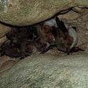 Morcego-de-orelhas-de-rato