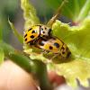 14-spotted ladybird. Mariquita de 14 puntos