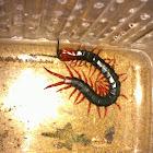 red leg centipede