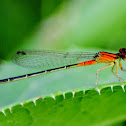 Cherry Bluet Damsel Fly