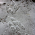 Nuttall's Cottontail (Tracks)