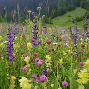 Alp flowers by Edzo Boven - Flowers Flowers in the Wild