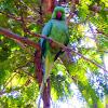 Rose Ringed Parakeet